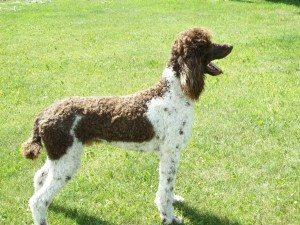 Handsome Brown and White Parti Male Poodle